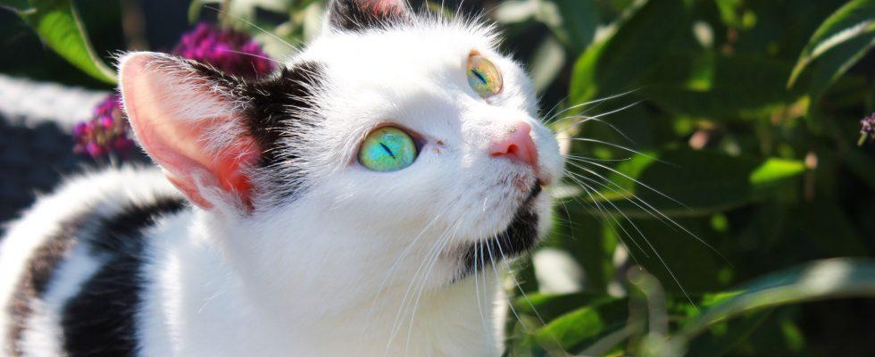 Chat noir et blanc avec des yeux de couleur différente dans un jardin